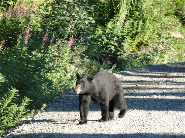 Bear Viewing on road by Salmon Glacier