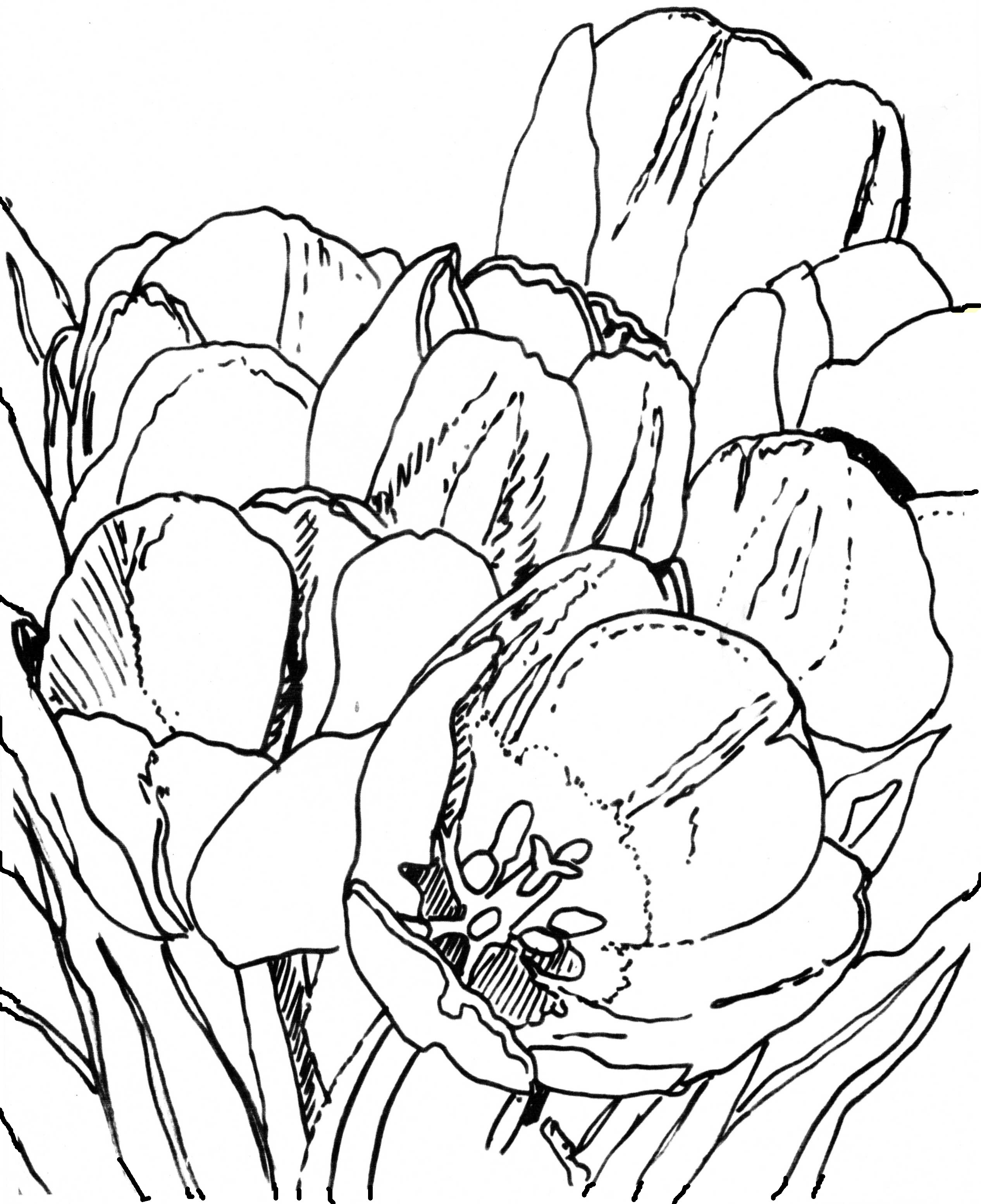 Drawing of Tulips